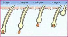 Fasi del ciclo del capello